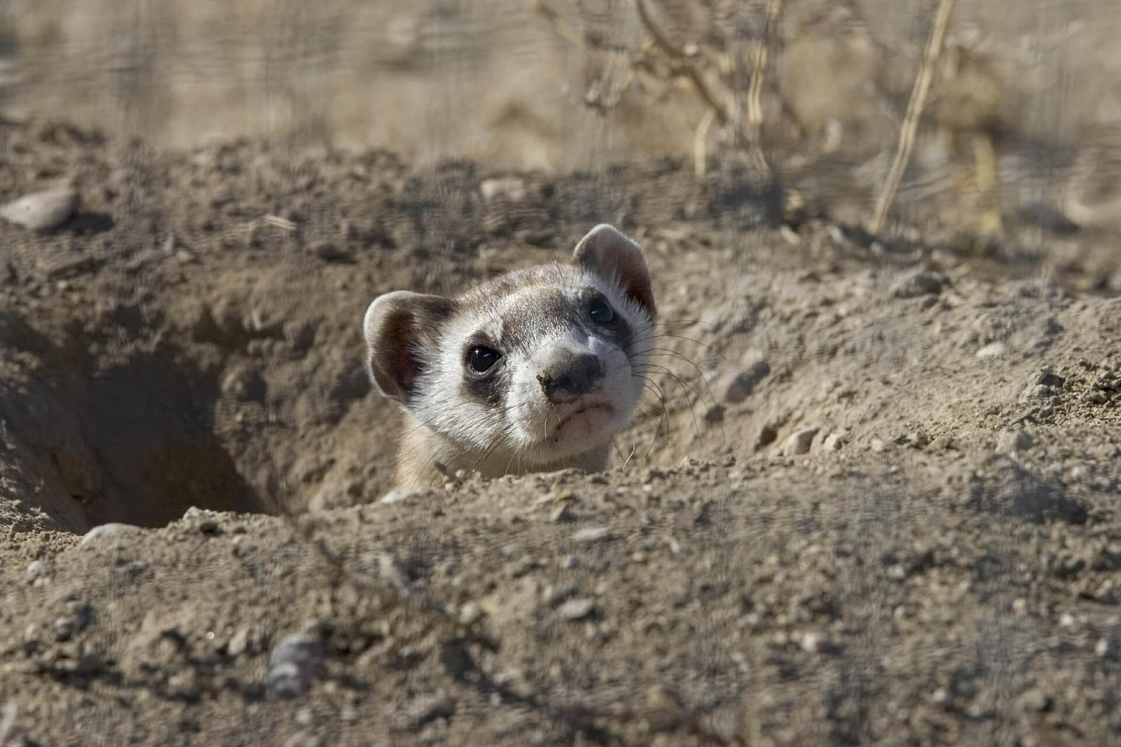 A black-footed ferret poking its head out of a hole