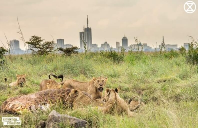 Lions in Narobi national park surrounded by encroachingcity